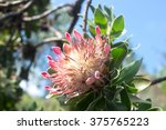 King Protea In South African...
