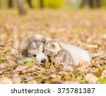 Stock photo alaskan malamute puppy playing with tabby kitten in autumn park 375781387