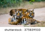 group of wild tigers on the... | Shutterstock . vector #375839533