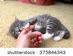 Stock photo kitten eating human finger 375846343