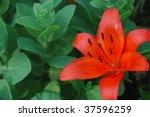 a brilliant orange lily with a