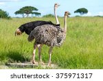 Pair Of Ostriches  Tanzania ...