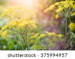 Yellow Flowers Of Dill  Anethu...