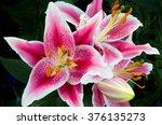 Oriental Lily Or Lilium Auratu...