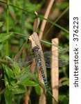 Small photo of Common hawker (aeschna juncea)