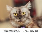 portrait of a maine coon cat.... | Shutterstock . vector #376313713