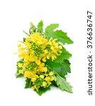 sprig of fresh rapeseed... | Shutterstock . vector #376636747