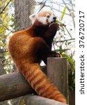Small photo of Beautiful Red Panda (Ailurus fulgens) eating bamboo
