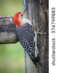 Red Bellied Woodpecker Hanging...