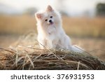 Pomeranian Dog. Beautiful Dog.
