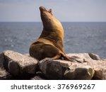 Male Sea Lion Yawning On Rocks...