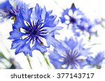 Blue Cornflowers  Isolated On...