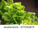 the fresh green lettuces...   Shutterstock . vector #377242873