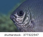 Small photo of White-belly damsel fish (Amblyglyphidodon leucogaster)