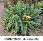 Beschorneria Yuccoides  Yucca...