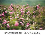 pink flowers on rose bushes at... | Shutterstock . vector #377421157
