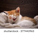 Funny Cat Laughing. Portrait O...