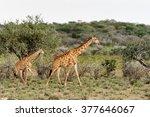 two giraffes in the erindi...   Shutterstock . vector #377646067