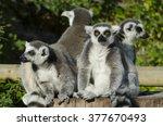 ring tailed lemur gang  | Shutterstock . vector #377670493