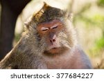 monkey portrait close up of a... | Shutterstock . vector #377684227