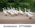 white ducks | Shutterstock . vector #377760883