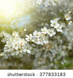 Spring Blossoms Tree. Natural...