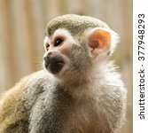A Squirrel Monkey And His...