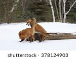 Small photo of Red fox family squabble