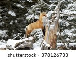 Red Fox On A Fallen Tree In Th...