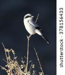 Small photo of Loggerhead Shrike - Lanius ludovicianus