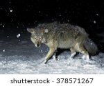 Brush Wolf  Coyote  In Winter...