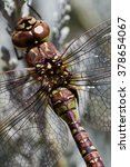 Small photo of Paddle-tailed Darner (Aeshna palmata). Willamette Valley, Oregon.