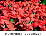 Christmas Flowers  Poinsettias...