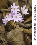 Hepatica Blooms With Pink...