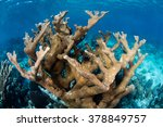 Small photo of A large colony of Elkhorn coral (Acropora palmata) grows on a shallow, healthy reef off the coast of Belize in the Caribbean Sea.
