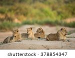 four african lionesses lying... | Shutterstock . vector #378854347