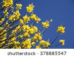 Small photo of Retama broom bushes