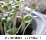 sprouts of a basil grow in... | Shutterstock . vector #378956347