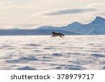 An Alaskan Tundra Wolf Leaps...