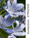 Small photo of Blue Agapanthus Blossoms