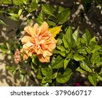 showy orange suffused with pink ... | Shutterstock . vector #379060717