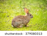 Alert Cottontail Rabbit ...