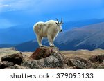 Single Mountain Goat Standing...