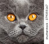 british shorthair cat portrait. ... | Shutterstock . vector #379355167