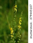 Small photo of Agrimony (Agrimonia eupatoria) flower spikes. Yellow flower spikes of a plant in the rose family (Rosaceae), growing on calcareous grassland