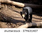 Sun Bear Also Known As A...
