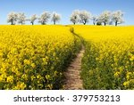 Rapeseed Field With Parhway An...