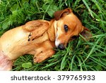 Little Dog Lying On Green Grass