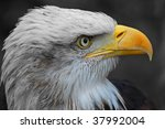 profile portrait of a young bald eagle - stock photo