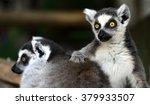 ring tailed lemur  | Shutterstock . vector #379933507